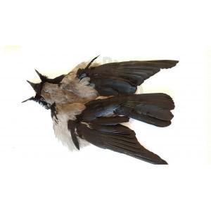 Gray crow Skin