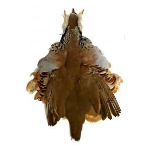 Red partridge Skin
